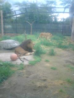 ライオン先輩。