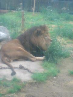 ライオン2。