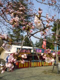 西公園の桜。