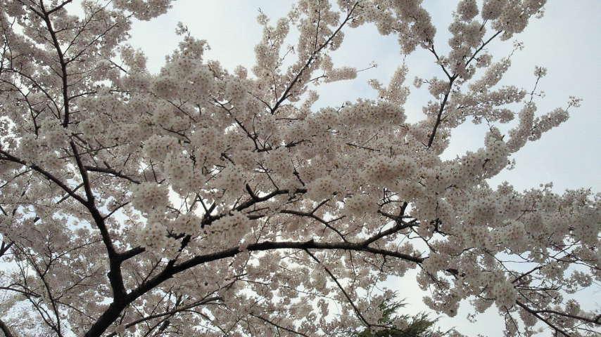 桜、もう1枚。