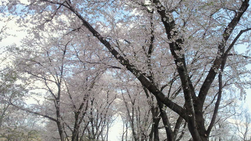 アラバキ会場の桜。